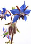 rosacea treatments - borage oil